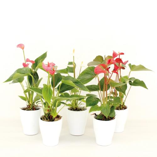 Anthurium - Mini - Voorjaarmix - Rene van Schie - Potplanten