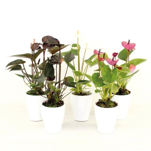 Anthurium - Mini - Wintermix - Rene van Schie - Potplanten