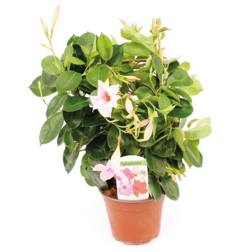 Dipladenia Zacht rose - Assortiment - René van Schie Potplanten