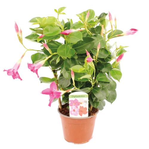 Dipladenia Zuurstok rose - Assortiment - René van Schie Potplanten