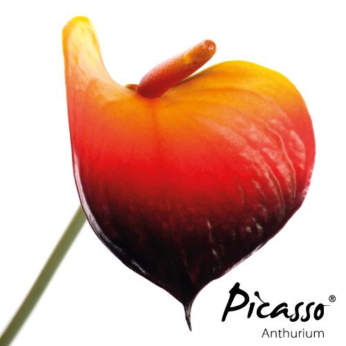 Picasso - Close Duitsland - Assortiment - René van Schie Potplanten