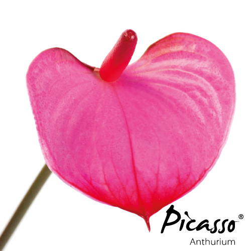 Picasso - Close Pink - Assortiment - René van Schie Potplanten