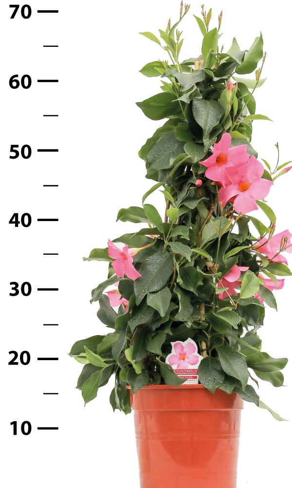 Dipladenia Zuurstok rose Pyramide René van Schie Potplanten 2.0